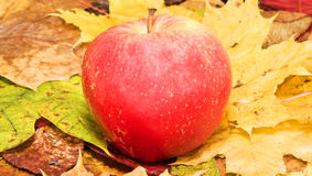 Sweet apple on colorful leaves Royalty Free Stock Images