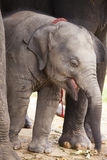 Sweet asian baby elephant Royalty Free Stock Photos