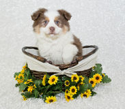 Sweet Aussie Puppy Royalty Free Stock Photo