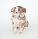 Sweet Aussie Puppy Stock Image