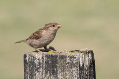 A sweet baby House Sparrow, Passer domesticus, perched on a post , waiting for its parents to come and feed it. Stock Photography