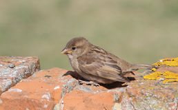 A sweet baby House Sparrow, Passer domesticus, perched on a wall in the sunshine, waiting for its parents to come and feed it. Stock Image