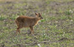 A cute baby Muntjac Deer Muntiacus reevesi feeding in a field at dusk. A sweet baby Muntjac Deer Muntiacus reevesi feeding in a field at dusk Royalty Free Stock Images