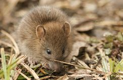 A cute baby wild Brown Rat Rattus norvegicus searching for food in the undergrowth. A sweet baby wild Brown Rat Rattus norvegicus searching for food in the royalty free stock photo