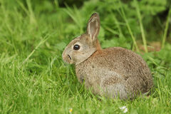 A sweet baby Wild Rabbit Orytolagus cuniculus feeding in the grass on Orkney, Scotland. A cute baby Wild Rabbit Orytolagus cuniculus feeding in the grass on Stock Image
