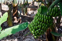 Sweet bananas stem Canary Islands tropical fruit farm royalty free stock image