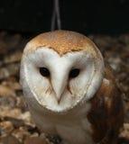 Sweet barn owl Royalty Free Stock Photo
