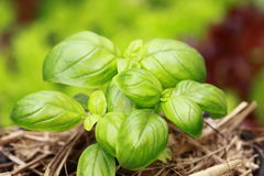 Sweet Basil Stock Image