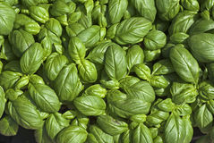 Sweet basil Royalty Free Stock Image