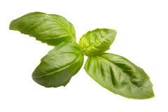 Sweet basil. Leafs of sweet basil on white background Stock Images
