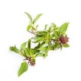 Sweet basil. Isolate on white background Stock Photography