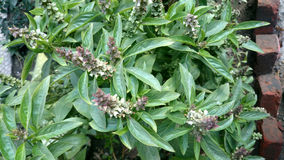 Sweet basil. Ocimum basilicum, Perennial herb with opposite leaves and white flowers, used as culinary herb, Lamiaceae stock photography