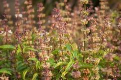 Sweet basil. Background of fresh sweet basil Stock Images