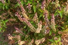 Sweet basil. Background of fresh sweet basil Royalty Free Stock Photos
