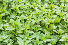 Sweet basil Stock Images