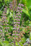 Sweet Basil Flower Stock Photo