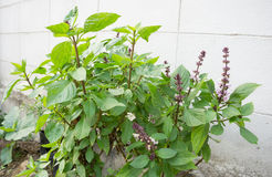 Sweet basil. Fresh organic sweet basil, focus on front bunches of flowers and seeds Stock Photos