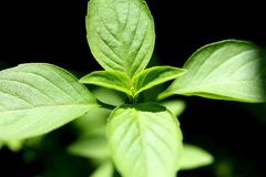 Sweet Basil Stock Photography