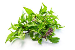 Sweet basil Herb. Stock Images