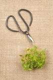 Sweet basil and herb scissors on jute Stock Photography