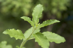 Sweet Basil, herbal and spice for food ingredient Stock Photography