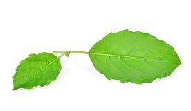 Sweet Basil isolated on white. Background Stock Photo
