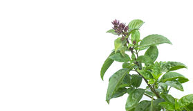 Sweet basil leaf with flower against white Stock Photography