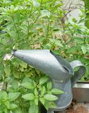 Sweet Basil Leaf with A Watering Can Royalty Free Stock Photo