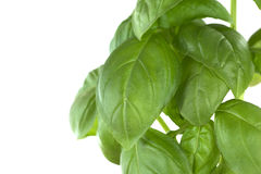 Sweet Basil Leaves Stock Photo