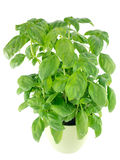 Sweet basil leaves isolated on white Royalty Free Stock Photo