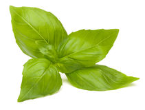 Sweet basil leaves Stock Photography