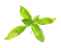 Sweet basil leaves Stock Photo