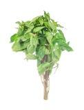 Sweet basil leaves isolated on white Stock Image