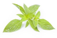 Sweet basil Royalty Free Stock Images