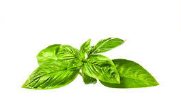 Sweet basil leaves on white background Stock Images