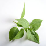 Sweet basil Ocimum basilicum Royalty Free Stock Photo