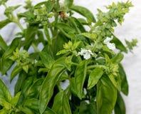 Sweet basil, Ocimum basilicum, Royalty Free Stock Photography