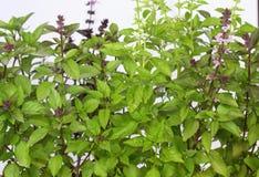Sweet basil /Ocimum basilicum/ Stock Photography