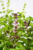 Sweet basil /Ocimum basilicum/ Royalty Free Stock Photos