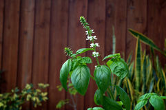 Sweet Basil Plant In Bloom. A large backyard Sweet Basil plant with flower stalks and small white blooms Royalty Free Stock Photo