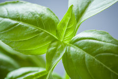 Sweet Basil Plant Closeup Stock Photo