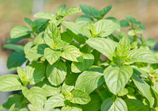 Sweet Basil Plant. Stock Photography