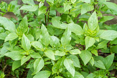 Sweet basil plants Stock Photography