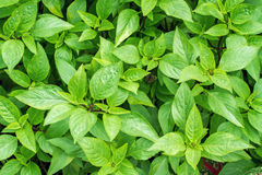 Sweet basil plants Stock Images