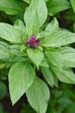Sweet basil tree Royalty Free Stock Images