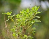 Sweet basil tree Royalty Free Stock Photos