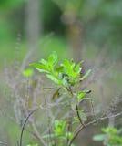 Sweet basil tree Stock Images