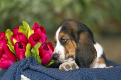 Sweet Basset hound puppy with sad eyes sitting in a basket on th. Gentle and sweet Basset hound puppy with sad eyes sitting in a basket on the blanket royalty free stock photography