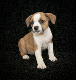 Sweet Beagle Mix Puppy Stock Photography