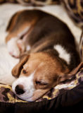 Sweet sleeping beagle puppy Royalty Free Stock Photo